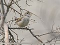 Common Whitethroat (Sylvia communis) (44863105014).jpg