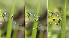 Common blue damselflies (Enallagma cyathigerum) mating composite.jpg