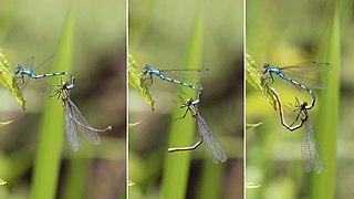 Kéksávos légivadászok (Enallagma cyathigerum) párzása (Whitecross Green Wood, Oxfordshire, Anglia)