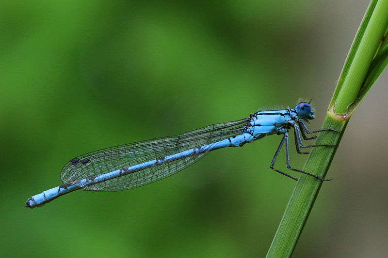 File:Common blue damselfly (Enallagma cyathigerum) male lateral.jpg