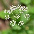 Conopodium majus in Aveyron (2).jpg