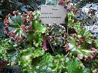 Conservatoire du bégonia 2015. Begonia 'Bunchii' 01.JPG
