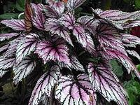 Conservatoire du bégonia 2015. Begonia 'Salvia'.JPG