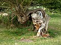 Contorted willow trunk - geograph.org.uk - 1481636.jpg