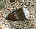 Conus lividus Réunion.jpg