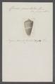 Conus punctatus - - Print - Iconographia Zoologica - Special Collections University of Amsterdam - UBAINV0274 086 05 0006.tif