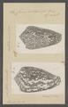 Conus rubiginosa - - Print - Iconographia Zoologica - Special Collections University of Amsterdam - UBAINV0274 085 10 0097.tif