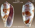 Conus tulipa 2.jpg