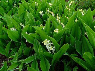 Konvalinka voňavá - v kvete