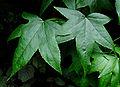 Copalme d'Amérique feuilles 2687.jpg