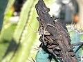Coreidae (3976041161).jpg