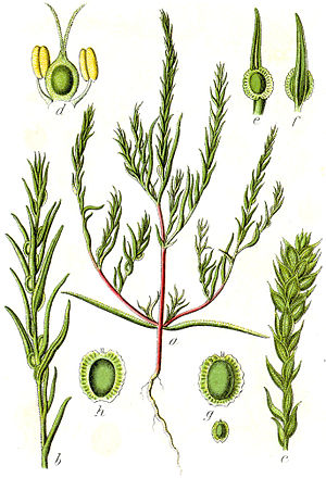 Corispermoideae - Corispermum marschallii