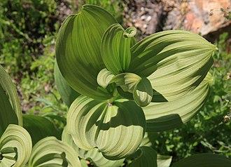Veratrum californicum - Image: Corn lily Veratrum californicum leaf swirl