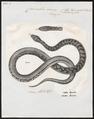 Coronella laevis - 1700-1880 - Print - Iconographia Zoologica - Special Collections University of Amsterdam - UBA01 IZ12100293.tif