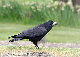Corvus frugilegus perched Muirton.jpg