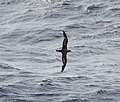 Cory's Shearwater, 153 nautical miles offshore of Suffolk County, NY, 1 September 2014 (15221120705).jpg