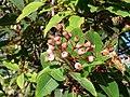 Corymbia (Eucalyptus) calophylla, Myrtaceae (25417047104).jpg