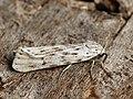Coscinia cribraria - Speckled footman - Медведица сетчатая (40819378532).jpg