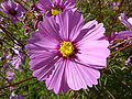 Cosmos 'Early Sensation' (Compositae) flower.JPG
