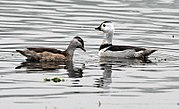 Cotton Pygmy-goose (Nettapus coromandelianus)- Male & Female l in Kolkata I IMG 2409.jpg