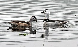 Cotton Pygmy-goose (Nettapus coromandelianus)- Male & Female l in Kolkata I IMG 2409