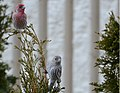 Couple of House Finches.jpg