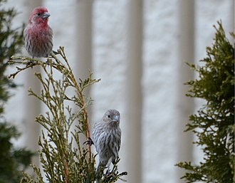 House finch - Couple of house finches