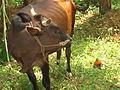 Cow - പശു-2.JPG