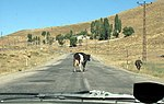 Cows Sharing Road (3823878339).jpg
