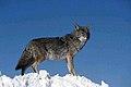 Coyote003 (26662432450).jpg