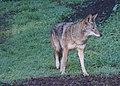 Coyote (15241483344).jpg