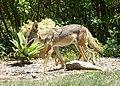 Coyote (28365684794).jpg