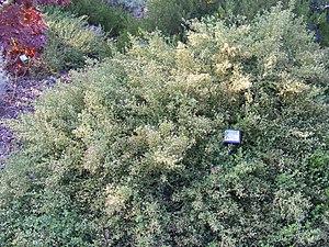 Baccharis pilularis - Baccharis pilularis flowering in a garden.