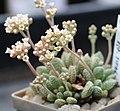Crassula ausensis ssp titanopsis.jpg