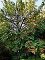 Crataegus pedicellata Baum.JPG