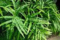 Cretan Brake Fern (Pteris cretica) in Fitzroy Gardens Conservatory (4527107442).jpg