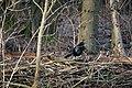 Crow 14-1-17 (32156248262).jpg