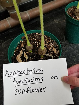 Agrobacterium tumefaciens - Crown gall of sunflower caused by A. tumefaciens
