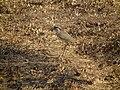 Crowned Lapwing Vanellus coronatus in Tanzania 3191 Nevit.jpg