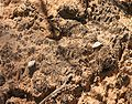 Cryptobiotic soil in Arches NP.jpeg