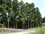 A forestry plantation of Cryptomeria