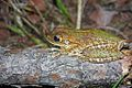Cuban Tree Frog (Osteopilus septentrionalis) (8573972779).jpg