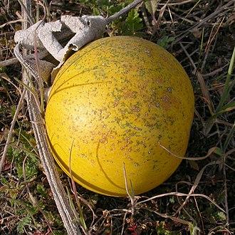 Cucurbita foetidissima - Image: Cucurbita foetidissima fruit 2003 02 04