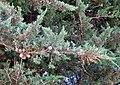Cupressus macrocarpa.jpg