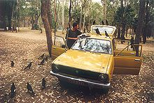 many black crow-like birds clustered around an old car, upon which is a sandwich. A person watches the birds in a bemused manner. The setting is a picnic area carpark in a wilderness national park.