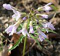 Cutleaf Toothwort (Dentaria laciniata) - Flickr - Jay Sturner (5).jpg
