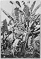 Cutting abaca (c. 1900, Philippines).jpg