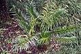 Cycas circinalis 39zz.jpg