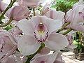 Cymbidium orchids1.jpg