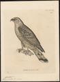 Cymindis uncinatus - 1700-1880 - Print - Iconographia Zoologica - Special Collections University of Amsterdam - UBA01 IZ18200364.tif